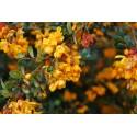 Calafate - Flor del Bosque profundo de Chile