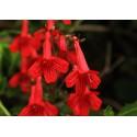 Flor de la cascada - Flor del Bosque profundo de Chile