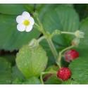 Frutilla silvestre - Flor del Bosque profundo de Chile