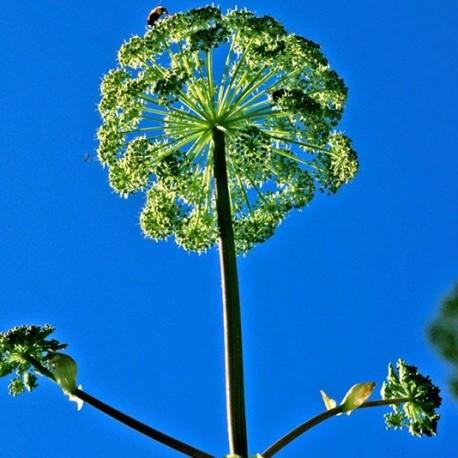 Angelica - Flor de California