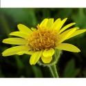 Arnica - Flor de California