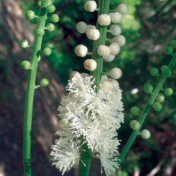 Black Cohosh - Flor de California