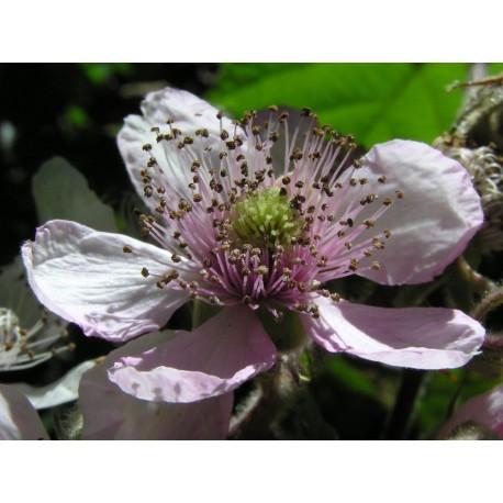 Blackberry - Flor de California