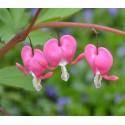 Bleeding Heart - Flor de California