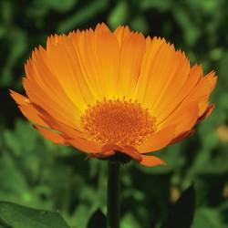 Calendula - Flor de California