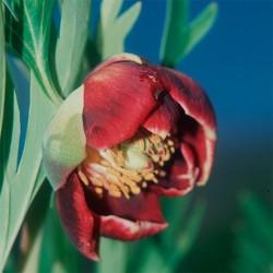 California Peony - Flor de California