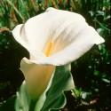 Calla Lily - Flor de California