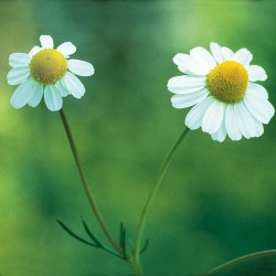 Chamomile - Flor de California
