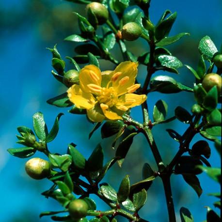 Chaparral - Flor de California