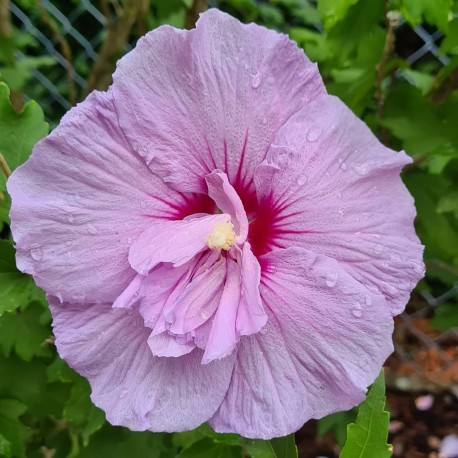 Cosmos - Flor de California