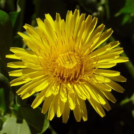 Dandelion - Flor de California