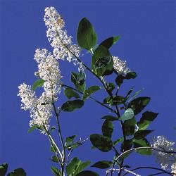Deerbrush - Flor de California