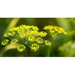 Dill - Flor de California