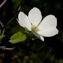 Dogwood - Flor de California