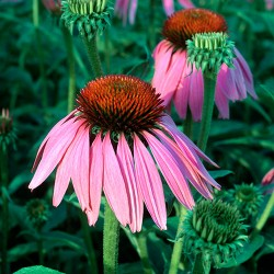 Echinacea - Flor de California