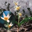 Fawn Lily - Flor de California