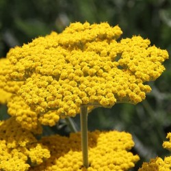 Golden Yarrow - Flor de California