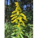 Goldenrod - Flor de California
