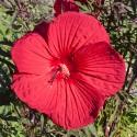 Hibiscus - Flor de California