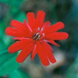 Indian Pink - Flor de California