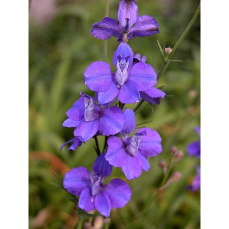 Larkspur - Flor de California