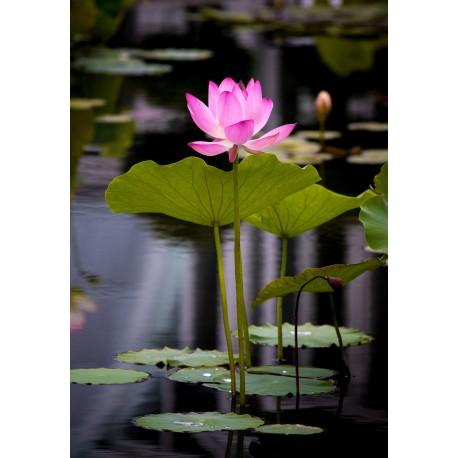 Lotus - Flor de California