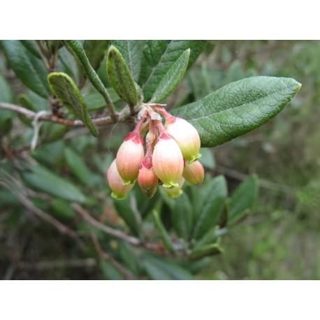 Manzanita - Flor de California