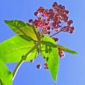 Milkweed - Flor de California