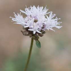Mountain Pennyroyal - Flor de California