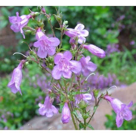 Mountain Pride - Flor de California