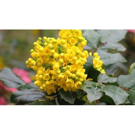 Oregon Grape - Flor de California