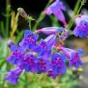 Penstemon - Flor de California