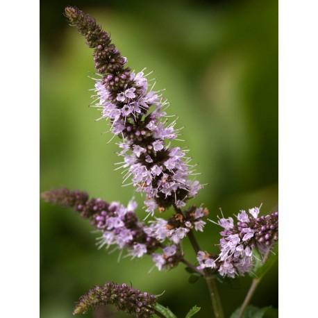 Peppermint - Flor de California