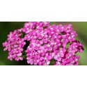 Pink Yarrow - Flor de California