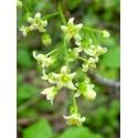 Poison Oak - Flor de California