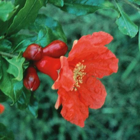 Pomegranate - Flor de California