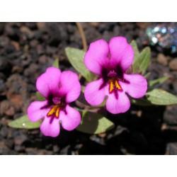 Purple Monkeyflower - Flor de California