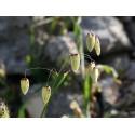 Quaking Grass - Flor de California