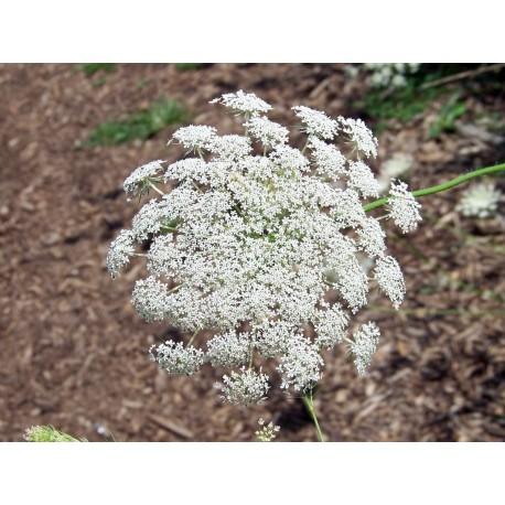 Queen Anne's Lace - Flor de California