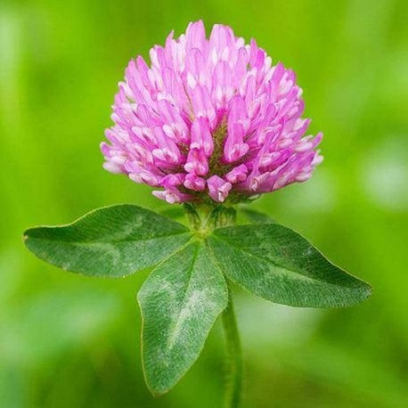 Red Clover - Flor de California