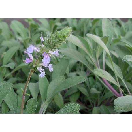 Sage - Flor de California