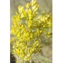 Sagebrush - Flor de California
