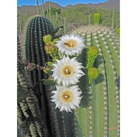 Saguaro - Flor de California