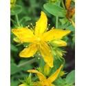 Saint John's Wort - Flor de California