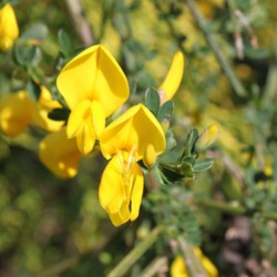 Scotch Broom - Flor de California