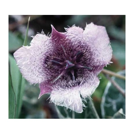 Star Tulip - Flor de California