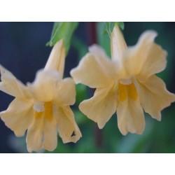 Sticky Monkeyflower - Flor de California