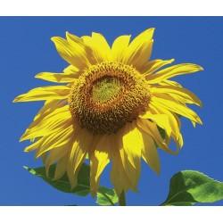 Sunflower - Flor de California