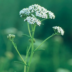 Yarrow - Flor de California