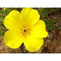 Amancai - Esencia Floral del Desierto de Chile